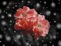 Розы и снег в Крыму