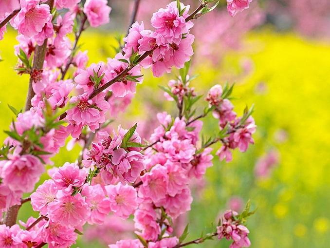 Цветы персика, Крым в апреле