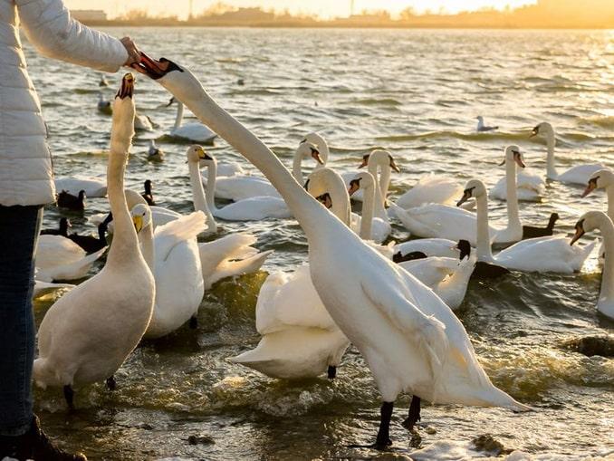 Лебеди на озере под Евпаторией в конце ноября готовятся к зиме